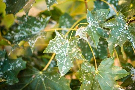 common tree diseases